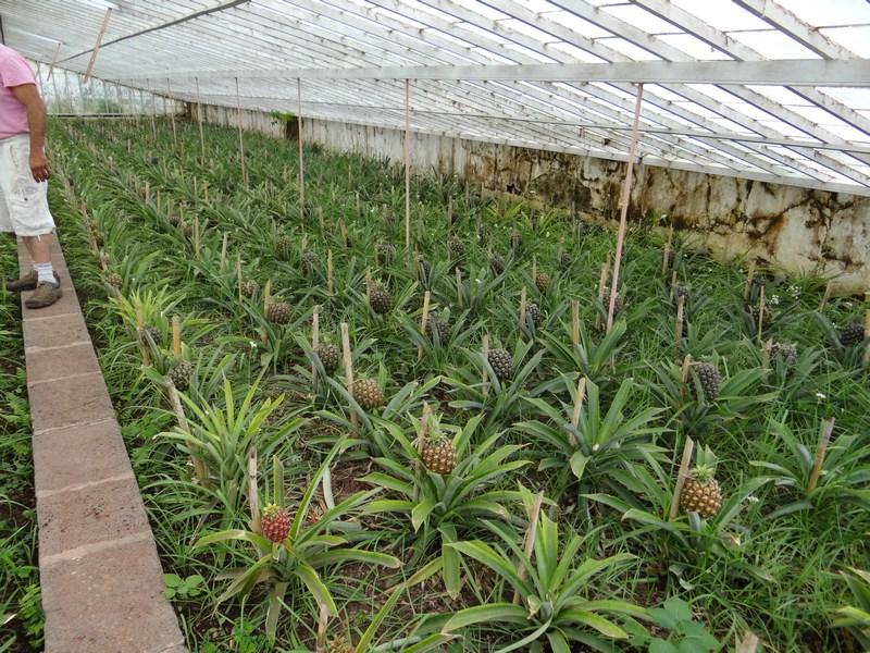Plantatie Ananas