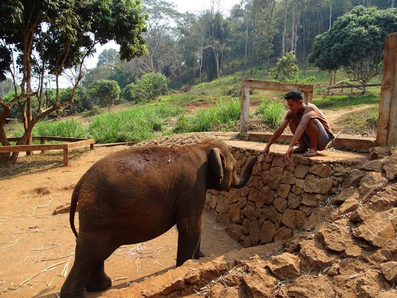 Elefant Adolescent