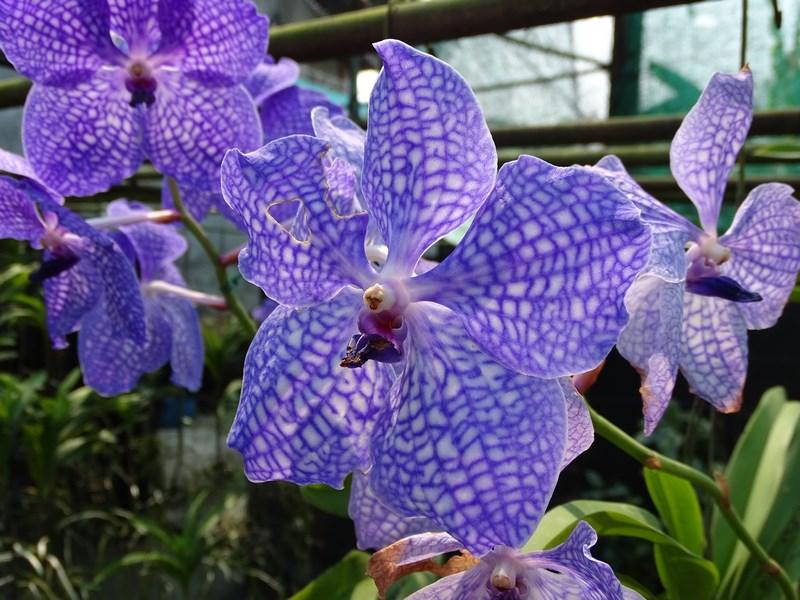 Orhidee Patate