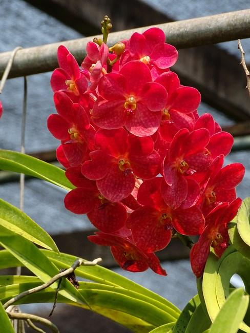 Orhidee Rosii Thailandeze