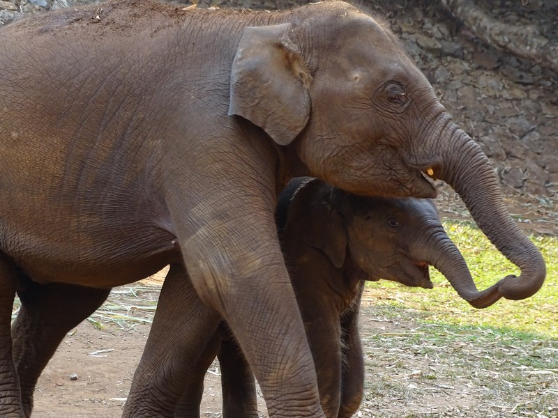 Elefanti Harjonindu Se