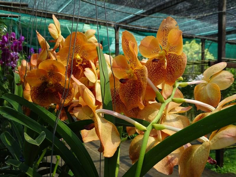 Orhidee Portocalii Thailandeze