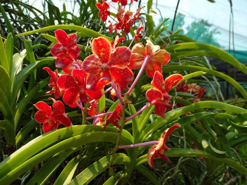 Orhidee Din Thailanda