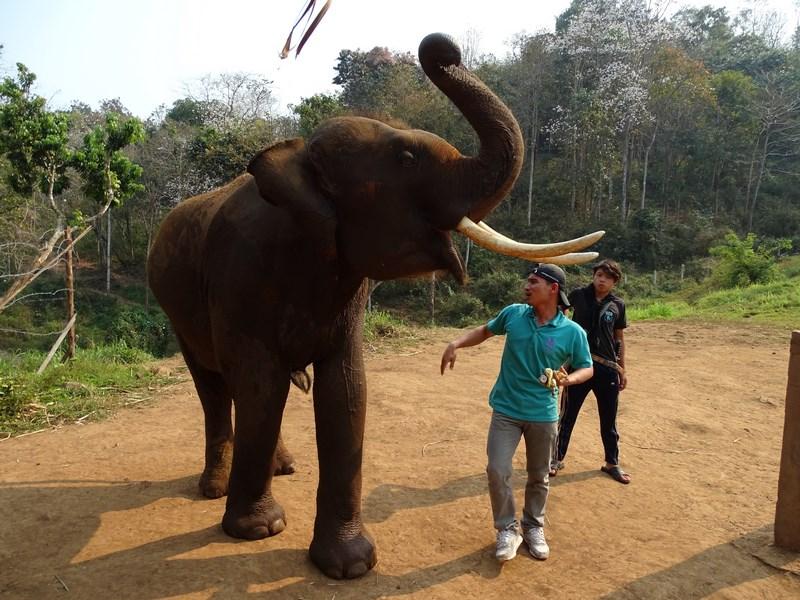 Elefant Cu Fildes