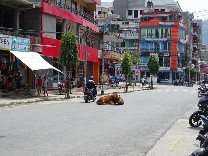Vaca In Pokhara