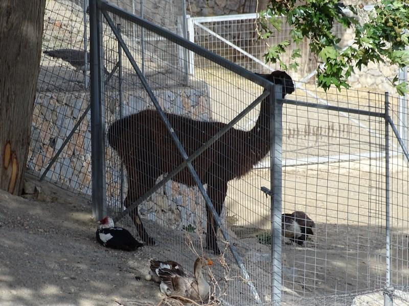 Lama In Grecia