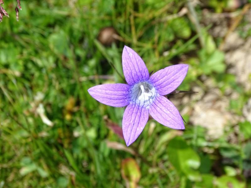 Floare De Munte