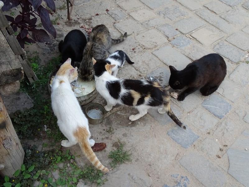 Pisici Rasnov