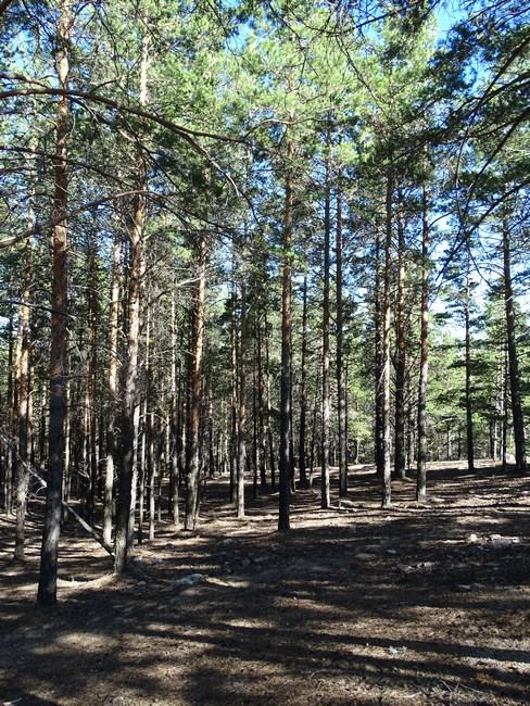 Copaci Siberienu