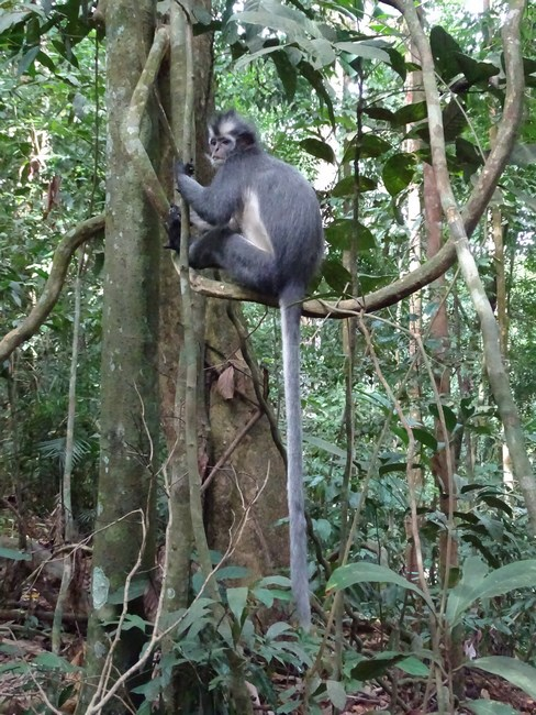 Maimuta Thomas