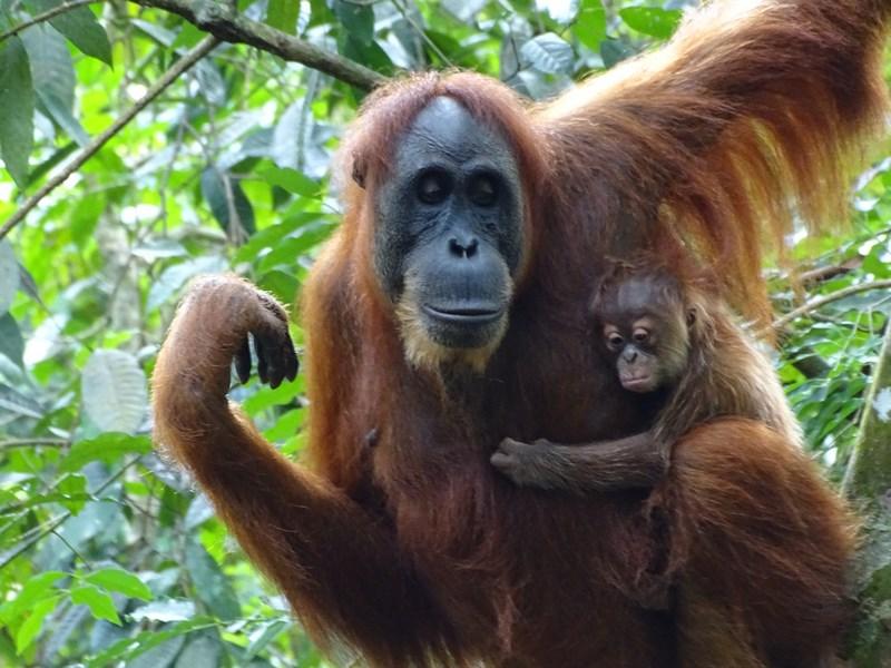 Orangutan Cu Pui