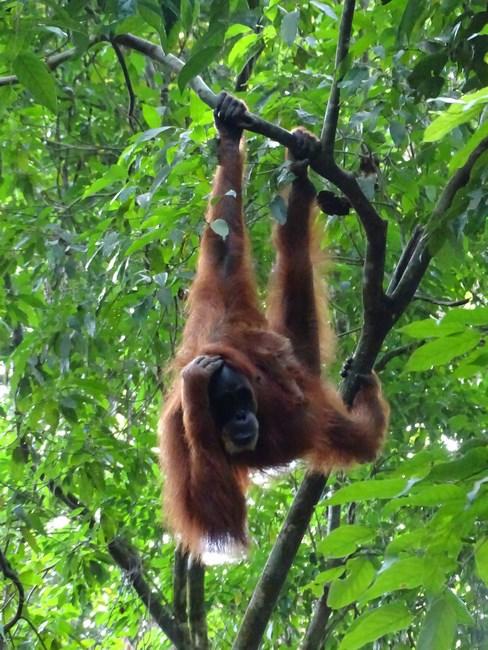 Orangutan Agatat