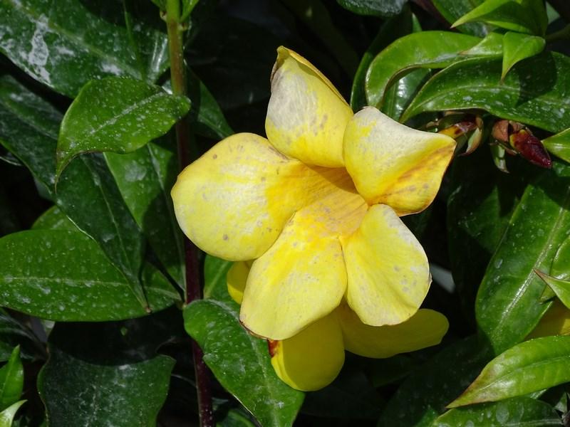 Floare Indonezia