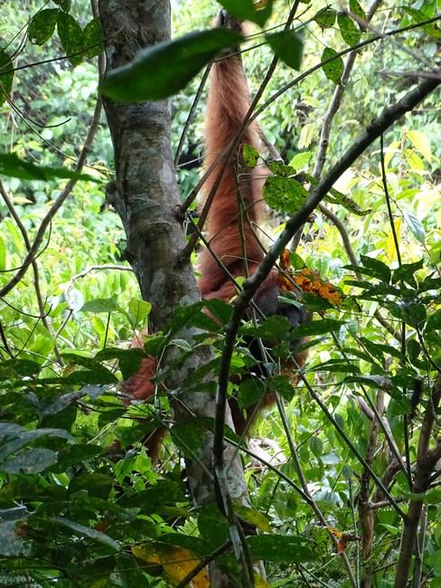 Orangutan In Padure
