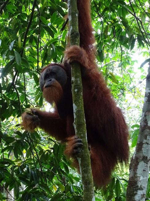 Orangutan Mare