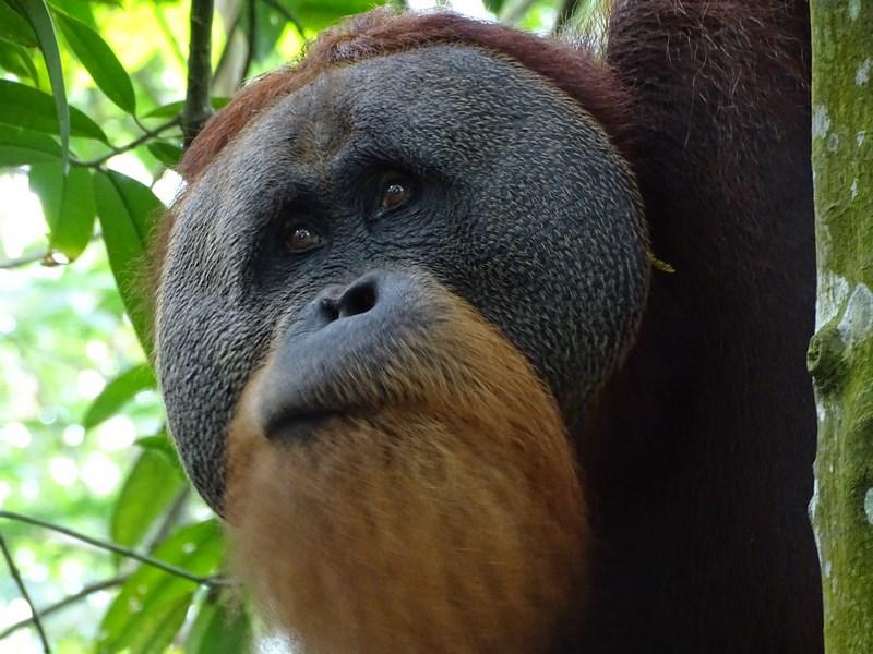 Orangutan Mascul