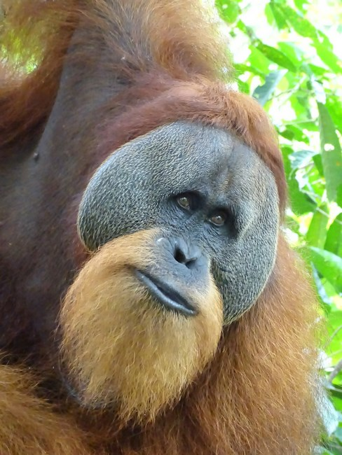 Orangutan Mascul Bukit Lawang