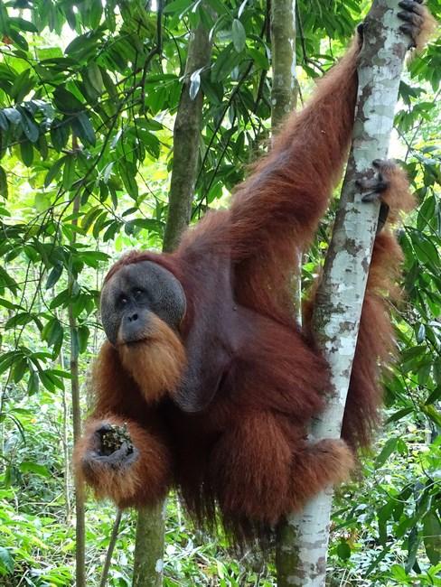 Orangutan Barbat