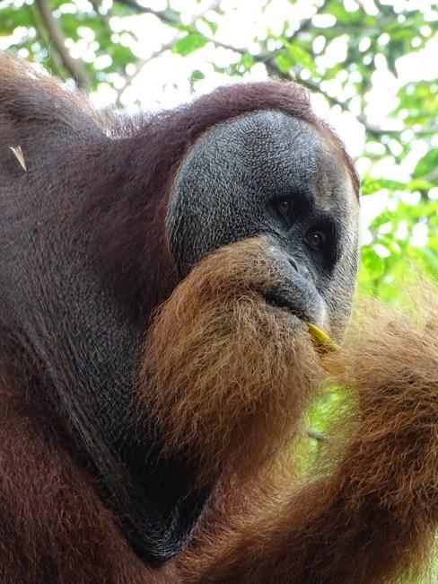 Fata Orangutan