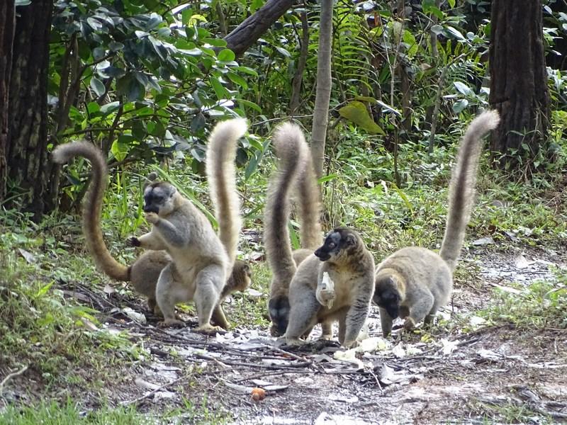 . Lemuri