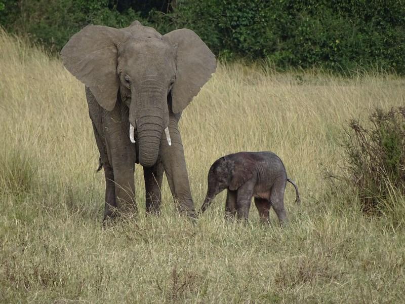 Elefant Pui