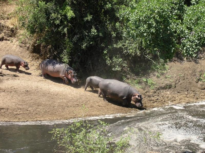 Hipopotami Tanzania
