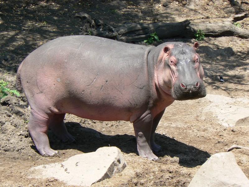Hipopotam Serengeti