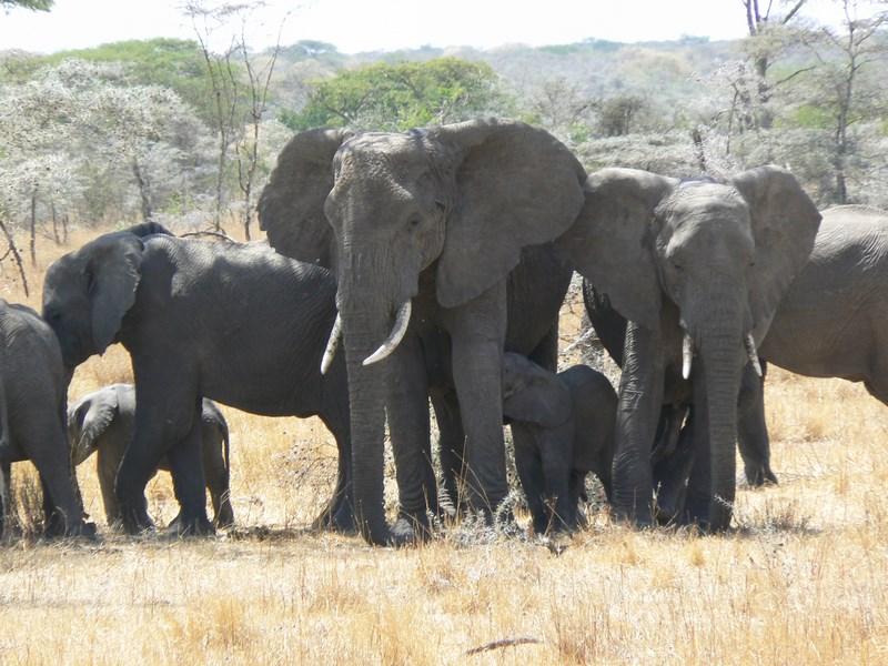 Turma Elefanti Serengeti