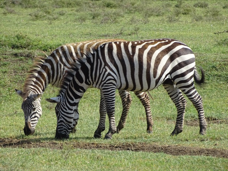 Zebre