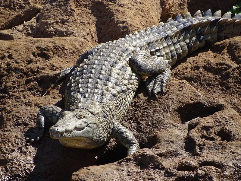Crocodil Madagascar