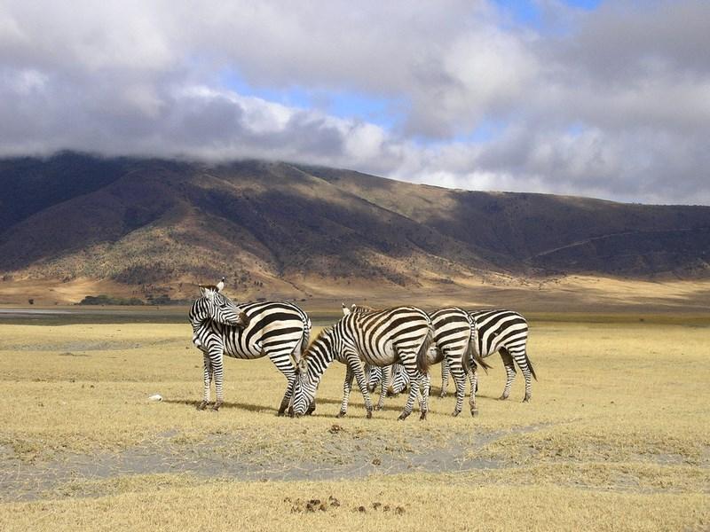 Zebre Ngorongoro Tanzania