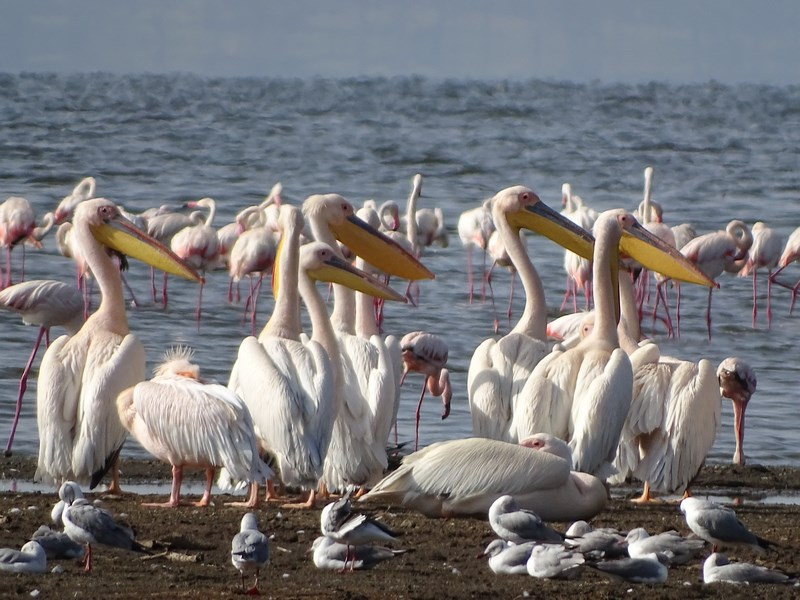 Pelicani Lacul Nakuru
