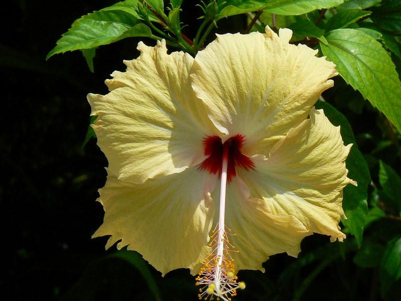 Floare Maldive