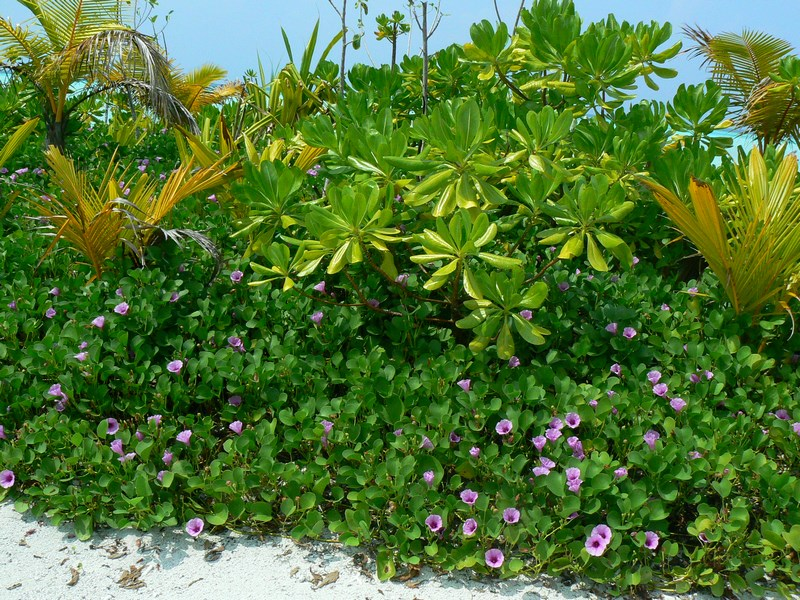 Vegetatie Maldive