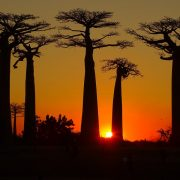 Allea Baobabilor Madagascar