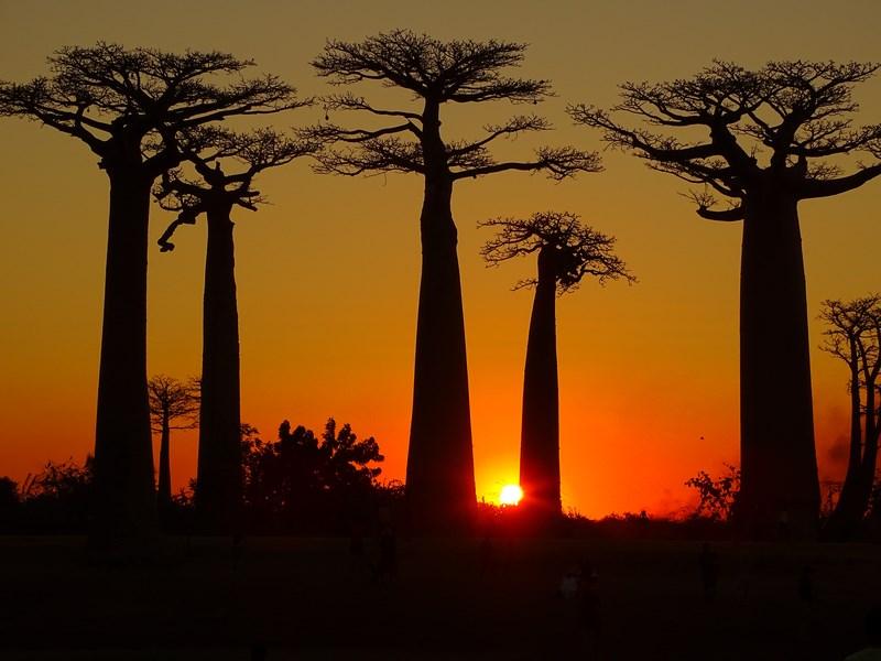 Aleea Baobabilor Madagascar