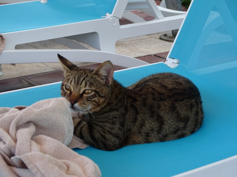 Pisica Limak Limra