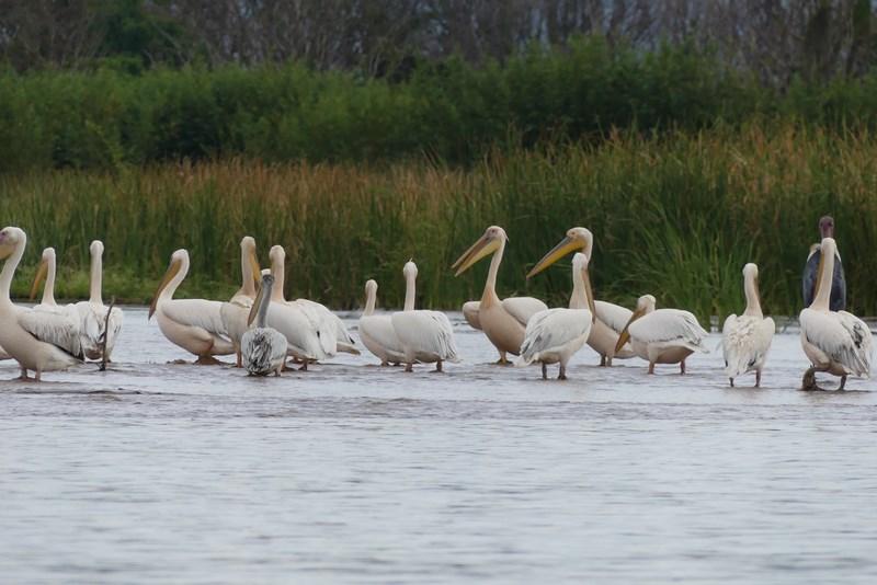 Pelicani Lacul Chamo