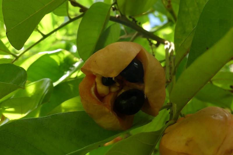 Fructe tropicala