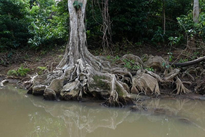 Radacini copac