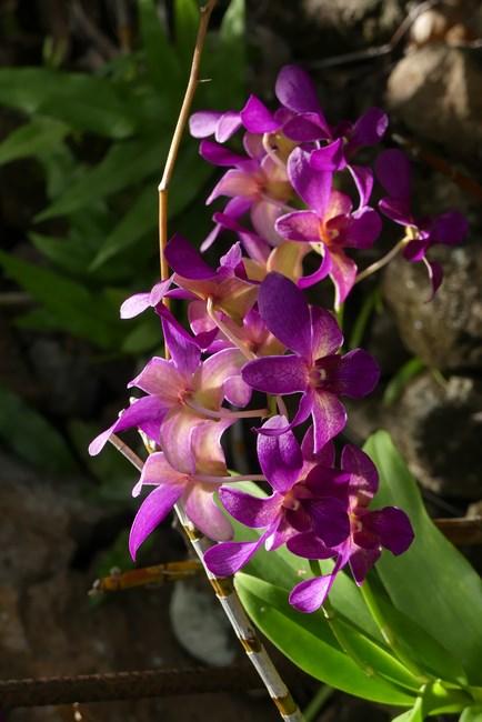 Orhidee Nevis