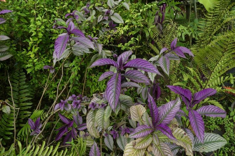 Frunze violet