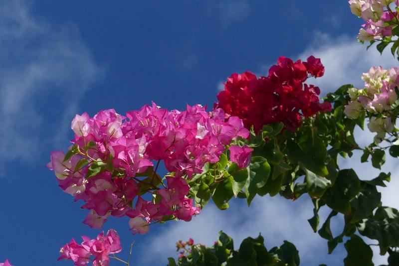 Flori Barbados