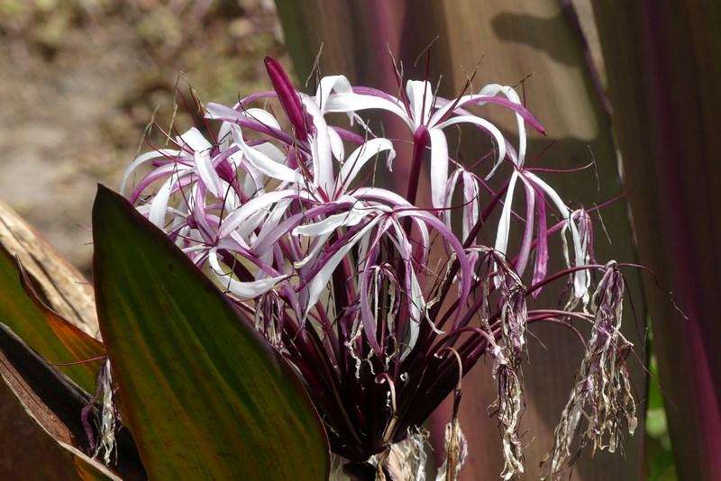 Flori Grenada