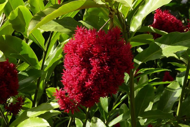 Floare Caraibe