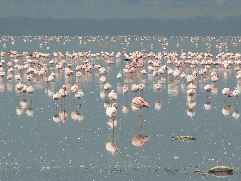Flamingo Nakuru