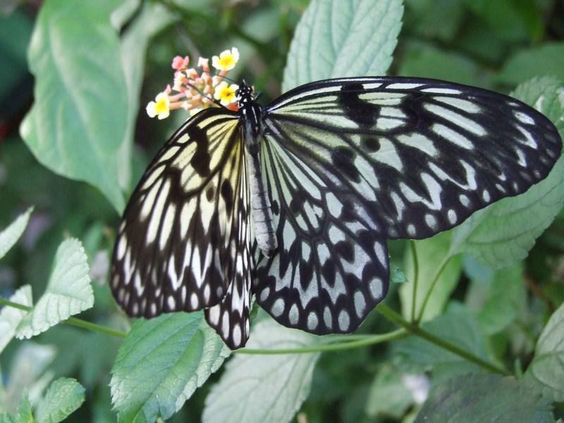 Fluture alb negru