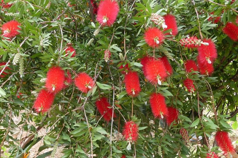 Creta flowers