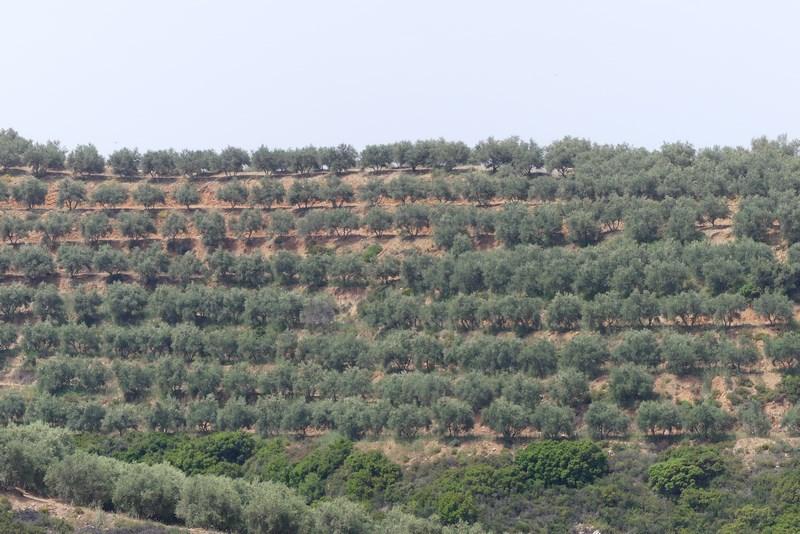 Plantatie maslini