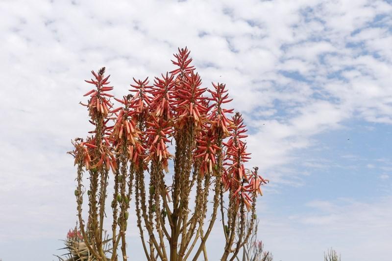 Flori desert